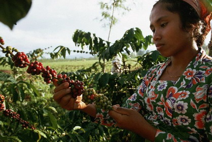 Worker Looking for Mature Coffee Beans on Plant