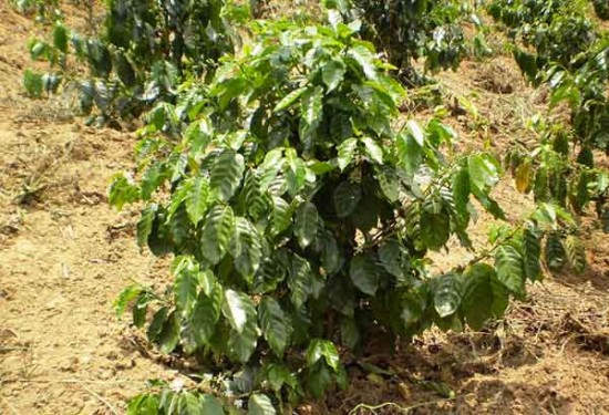 Coffee_tree_arabica